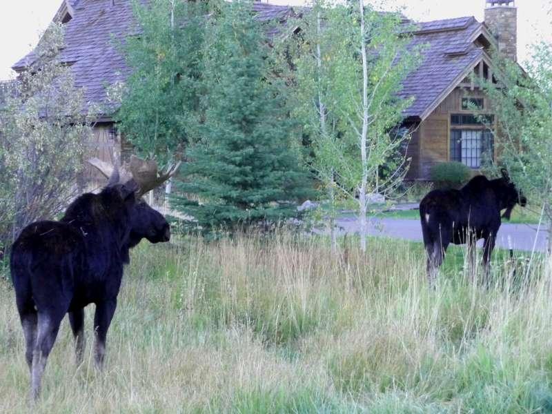 Moose in Wilson Neighborhood